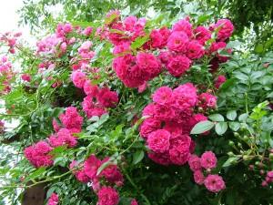 Садовые цветы.
