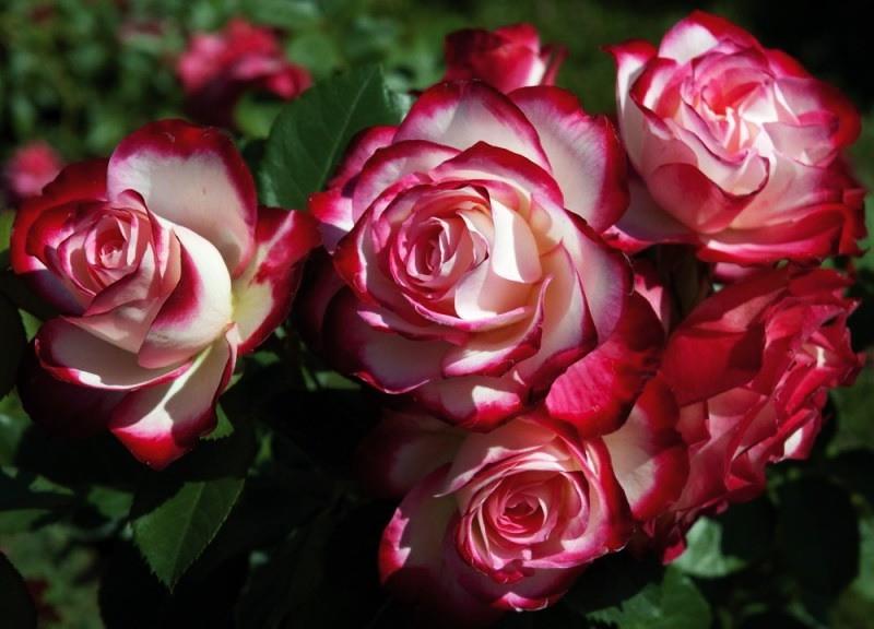 сорта роз флорибунда с фото
