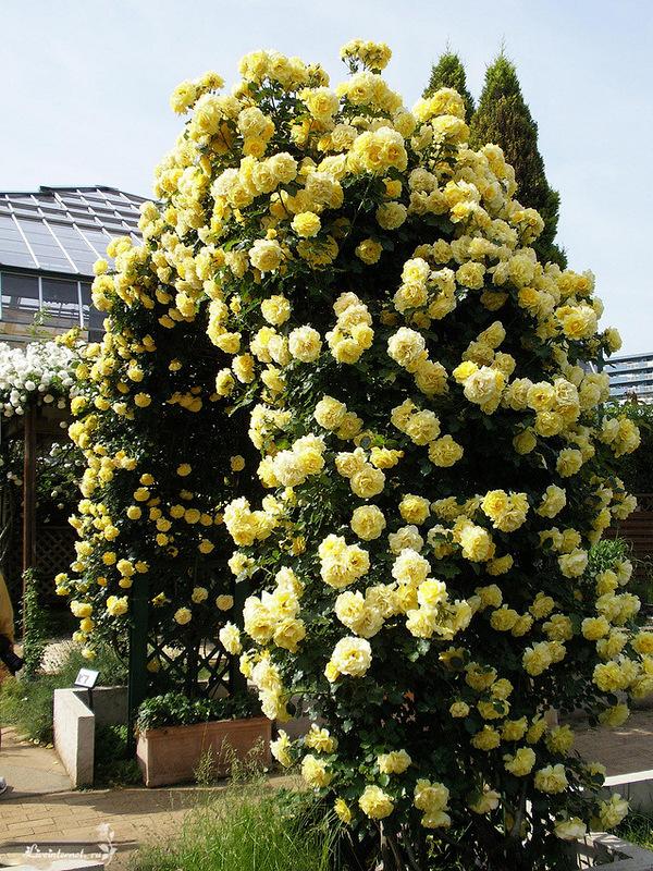 Плетистые розы — сорта с фото