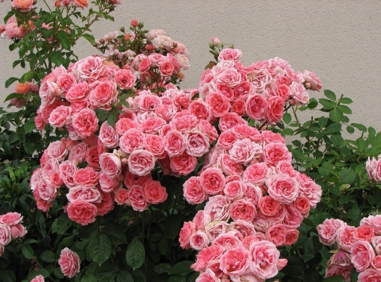 Что значит флорибунда роза
