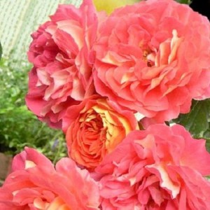 Сорта роз флорибунда.