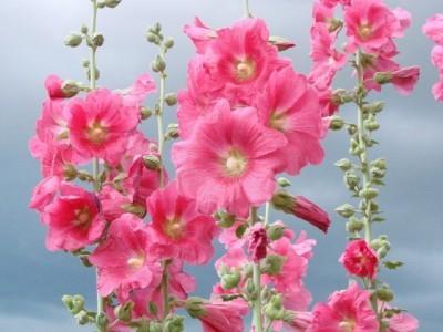 Как выращивать шток розу из семян через рассаду.
