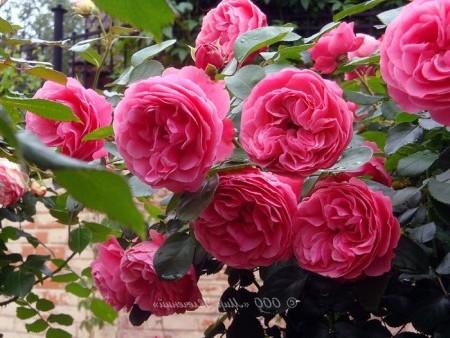 Сорта розы флорибунда описание, фото.