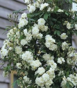 Сорта мелкоцветковых плетистых роз (Рамблеры)