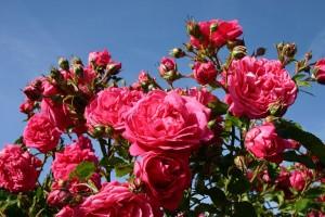 Сорта полуплетистых роз (Розы Кордеса).