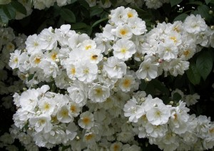 Плетистые розы - сорта с фото