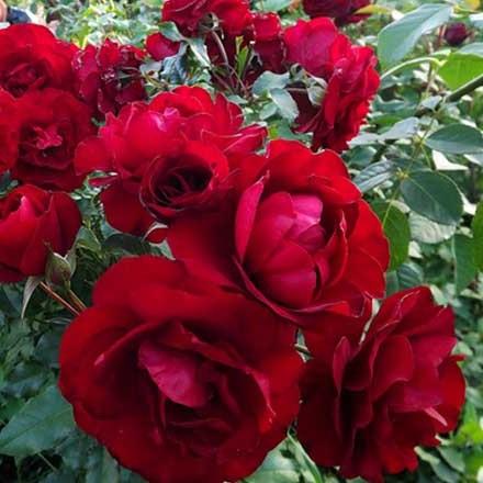 Роза нина вейбул описание и фото
