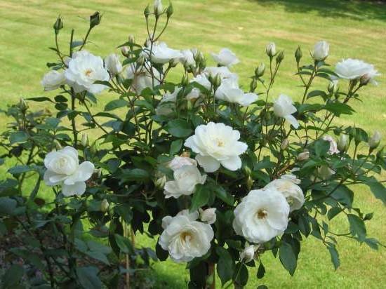 роза айсберг фото и описание