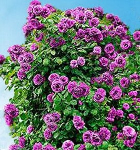 Сорта крупноцветковых плетистых роз