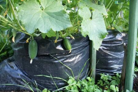 Выращивание огурцов в мешках.