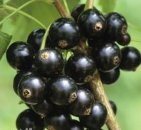Ягоды Черного жемчуга.