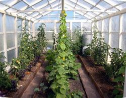 Схема посадки овощей в теплице.