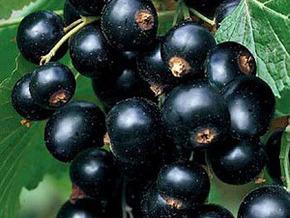 Самые сладкие сорта черной смородины.