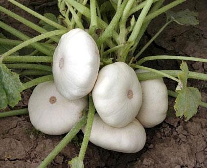 Как правильно посадить патиссоны.