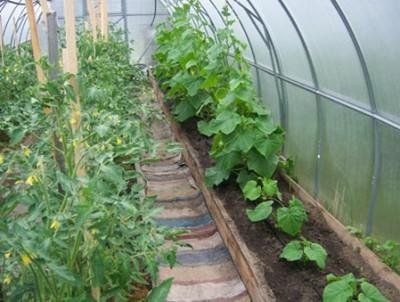 Выращивание огурцов и помидоров