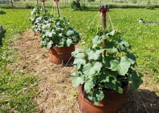 Выращивание огурцов в бочке, видео уроки