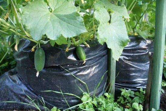 Выращивание огурцов в мешках, видео уроки