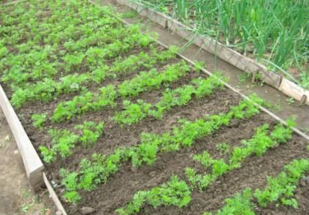 Посадка и выращивание моркови.