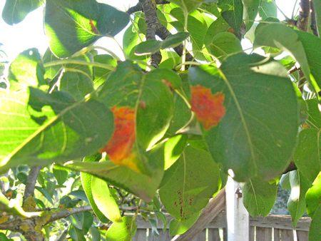 Желтые пятна на листьях груши.