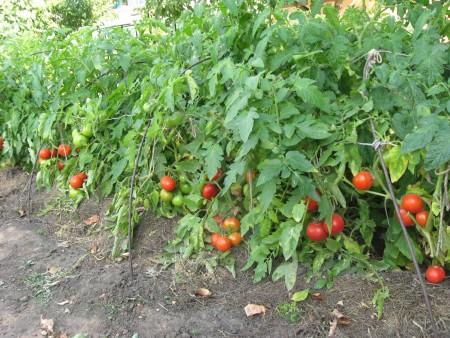Как правильно выращивать помидоры.