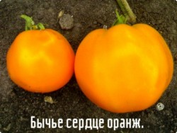 Сорт томата Бычье сердце оранжевое.