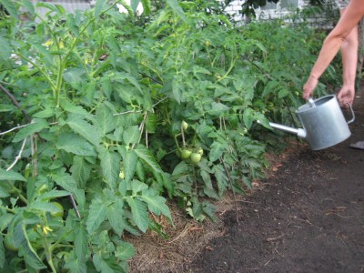 Подкормка помидоров народными средствами