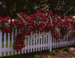 Лучшие сорта плетистых роз.