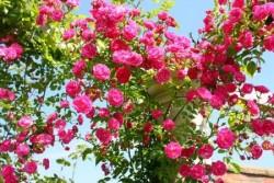 Как выращивать плетистые розы.