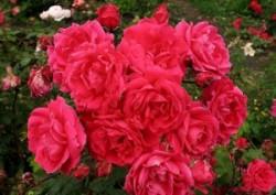 Как выращивают парковые розы.