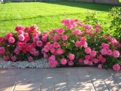 Как вырастить почвопокровные розы.