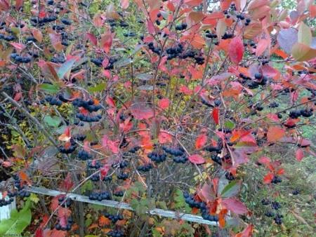Выращивание черноплодной рябины.