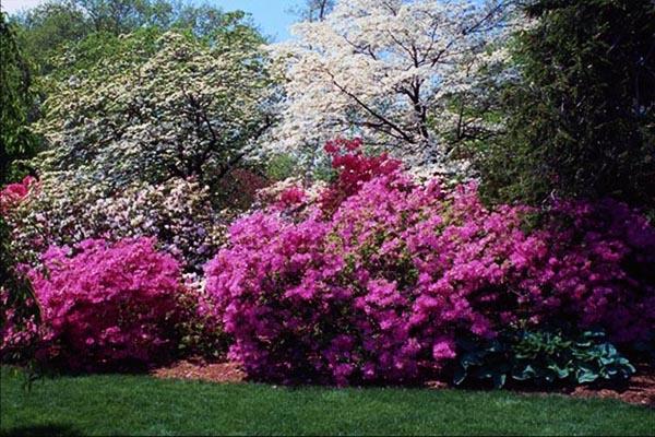 Цветущие деревья в парке.