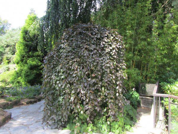 Куст с поникающими ветвями