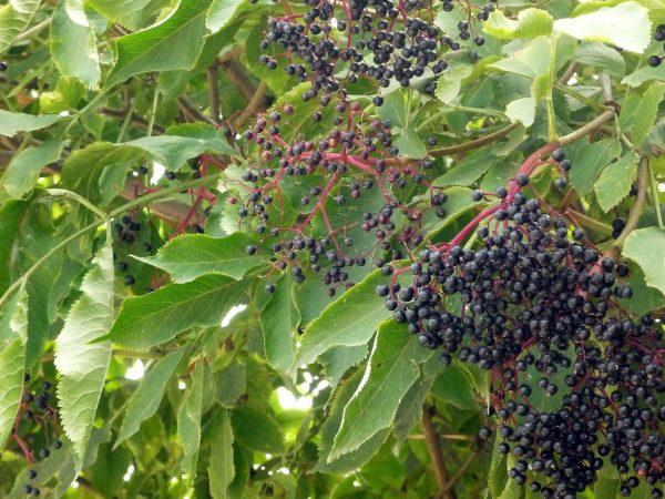 Гроздья ягод