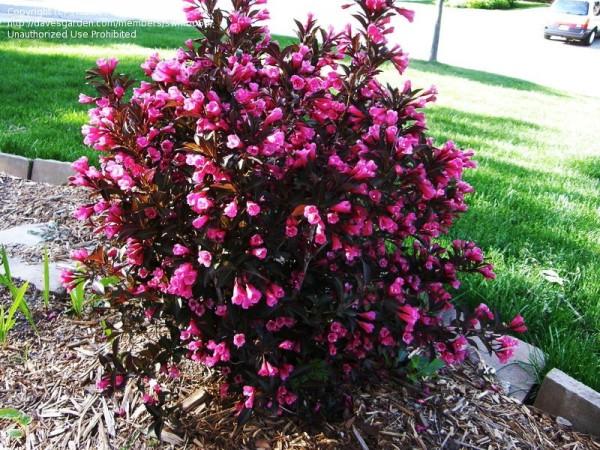 Красиво цветущий кустарник.