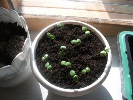 Выращиваем рассаду бальзамина.