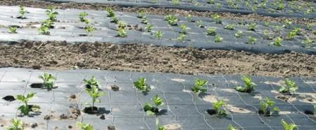 Сорняки уничтожают с помощью черной пленки.