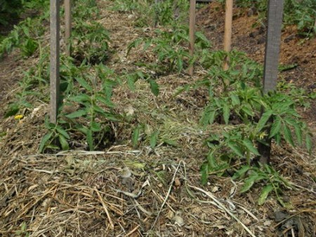Уничтожаем сорняки с помощью мульчи.