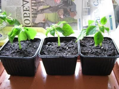 Выращиваем недотрогу из черенков.