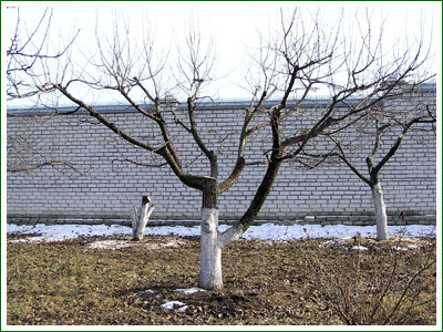 Омолаживающая обрезка старых деревьев