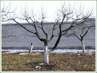 Омолаживающая обрезка старых деревьев.