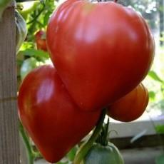 Огромный помидор Бычье сердце