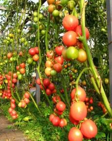 Индетерминантные помидоры.