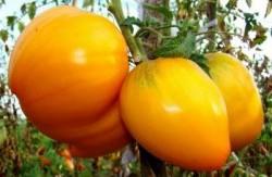 Высокорослый томат для открытого грунта.