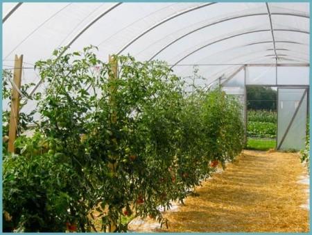 В теплицах выращивают в основном индетерменантные томаты.