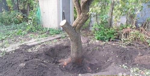 Выкорчевывание старого дерева.