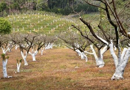 Проводим омолаживающую обрезку плодовых деревьев.