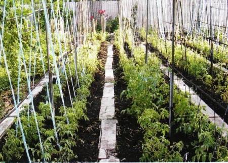 Подвязка растений к шпалерам.