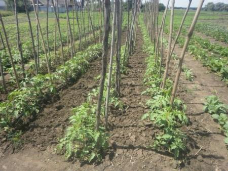 Как выращивать индетерминантные томаты.