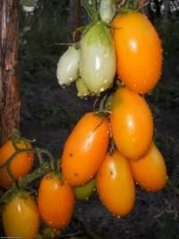Желтые помидорки.